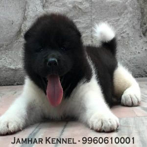 pet shop / store, dog n cat breeder in wakad, pcmc – jamhar kennel - Akita Puppy For Sale Dog Breeder in Wakad PCMC Pune 300x300 - Pet Shop / Store, Dog n Cat Breeder in Wakad, PCMC – Jamhar Kennel
