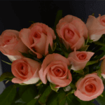 buy roses in wakad from berry's roses and petals - 7030983302 7030983307 - Amarosa 150x150 - Buy Roses in Wakad from Berry's Roses and Petals – 7030983302 7030983307