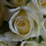 buy roses in wakad from berry's roses and petals - 7030983302 7030983307 - Avalanche 150x150 - Buy Roses in Wakad from Berry's Roses and Petals – 7030983302 7030983307