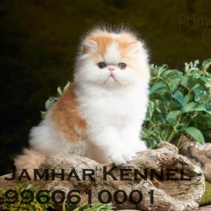 pet shop / store, dog n cat breeder in wakad, pcmc – jamhar kennel - Full Punch Face Persian Kitten for Sale in Wakad Pune Pet Shop Cat Breeder in Wakad PCMC 300x300 - Pet Shop / Store, Dog n Cat Breeder in Wakad, PCMC – Jamhar Kennel