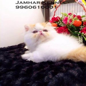 pet shop / store, dog n cat breeder in wakad, pcmc – jamhar kennel - Full Punch Face Persian Kitten for Sale in Wakad Pune Pet Shop Cat Breeder in Wakad PCMC 4 300x300 - Pet Shop / Store, Dog n Cat Breeder in Wakad, PCMC – Jamhar Kennel