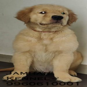 pet shop / store, dog n cat breeder in wakad, pcmc – jamhar kennel - Golden Retriever Male Puppy for Sale in Wakad Pune Pet Shop Dog Breeder in Wakad PCMC 300x300 - Pet Shop / Store, Dog n Cat Breeder in Wakad, PCMC – Jamhar Kennel