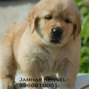 pet shop / store, dog n cat breeder in wakad, pcmc – jamhar kennel - Golden Retriever Puppy for Sale in Wakad Pune Pet Shop Dog Breeder in Wakad PCMC 8 300x300 - Pet Shop / Store, Dog n Cat Breeder in Wakad, PCMC – Jamhar Kennel