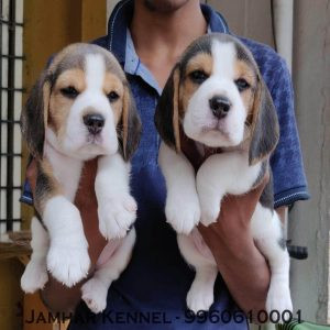 pet shop / store, dog n cat breeder in wakad, pcmc – jamhar kennel - Healthy Beagle Puppies For Sale Dog Breeder in Wakad PCMC Pune 300x300 - Pet Shop / Store, Dog n Cat Breeder in Wakad, PCMC – Jamhar Kennel
