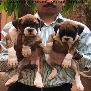 pet shop / store, dog n cat breeder in wakad, pcmc – jamhar kennel - Healthy Boxer Puppies For Sale Dog Breeder in Wakad PCMC Pune 300x300 - Pet Shop / Store, Dog n Cat Breeder in Wakad, PCMC – Jamhar Kennel