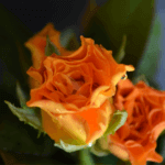 buy roses in wakad from berry's roses and petals - 7030983302 7030983307 - Marie Claire 150x150 - Buy Roses in Wakad from Berry's Roses and Petals – 7030983302 7030983307