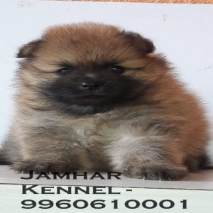 pet shop / store, dog n cat breeder in wakad, pcmc – jamhar kennel - Mini Pom Puppy For Sale Dog Breeder in Wakad PCMC 11 300x300 - Pet Shop / Store, Dog n Cat Breeder in Wakad, PCMC – Jamhar Kennel
