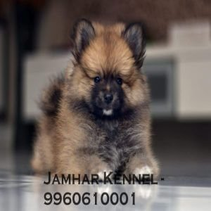 pet shop / store, dog n cat breeder in wakad, pcmc – jamhar kennel - Miniature Pom Puppy For Sale Dog Breeder in Wakad PCMC 2 300x300 - Pet Shop / Store, Dog n Cat Breeder in Wakad, PCMC – Jamhar Kennel