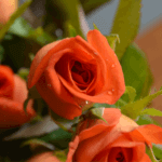 buy roses in wakad from berry's roses and petals - 7030983302 7030983307 - Naranga 150x150 - Buy Roses in Wakad from Berry's Roses and Petals – 7030983302 7030983307