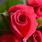 buy roses in wakad from berry's roses and petals - 7030983302 7030983307 - Poison 150x150 - Buy Roses in Wakad from Berry's Roses and Petals – 7030983302 7030983307