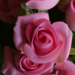 buy roses in wakad from berry's roses and petals - 7030983302 7030983307 - Revival 150x150 - Buy Roses in Wakad from Berry's Roses and Petals – 7030983302 7030983307