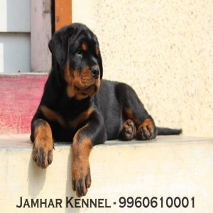 pet shop / store, dog n cat breeder in wakad, pcmc – jamhar kennel - Rottweiler Puppy For Sale Dog Breeder in Wakad PCMC Pune 300x300 - Pet Shop / Store, Dog n Cat Breeder in Wakad, PCMC – Jamhar Kennel