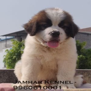 pet shop / store, dog n cat breeder in wakad, pcmc – jamhar kennel - Saint Bernard Puppy for sale in Wakad PCMC 2 300x300 - Pet Shop / Store, Dog n Cat Breeder in Wakad, PCMC – Jamhar Kennel