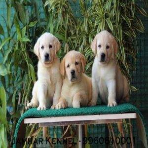 pet shop / store, dog n cat breeder in wakad, pcmc – jamhar kennel - Show Quality Labrador Puppies for Sale in Wakad Pune Pet Shop Dog Breeder in Wakad PCMC 300x300 - Pet Shop / Store, Dog n Cat Breeder in Wakad, PCMC – Jamhar Kennel