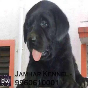 pet shop / store, dog n cat breeder in wakad, pcmc – jamhar kennel - Show Quality Labrador Puppy for Sale in Wakad Pune Pet Shop Dog Breeder in Wakad PCMC 2 300x300 - Pet Shop / Store, Dog n Cat Breeder in Wakad, PCMC – Jamhar Kennel