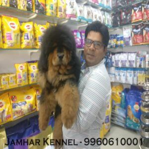 pet shop / store, dog n cat breeder in wakad, pcmc – jamhar kennel - Tibetian Mastiff Puppy available for sale dog breeder in Wakad PCMC 300x300 - Pet Shop / Store, Dog n Cat Breeder in Wakad, PCMC – Jamhar Kennel