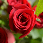 buy roses in wakad from berry's roses and petals - 7030983302 7030983307 - Top Secret 150x150 - Buy Roses in Wakad from Berry's Roses and Petals – 7030983302 7030983307
